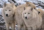 Polarwölfe 1
