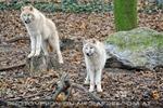 Arktische Wölfe