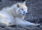 Polarwölfe 01