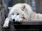 Polarwölfe 04
