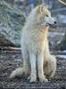 Polarwölfe 2