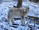 Polarwölfe 6