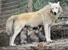 Mama mit Babys - Wolftankstelle