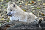 Arktische Wölfe 02