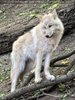 Arktische Wölfe 03