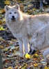 Arktische Wölfe 05
