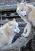 Arktische Wölfe 2