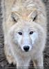 Arktische Wölfe 3