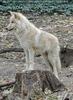 Arktischer Wolf 1