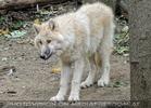 Arktischer Wolf 2