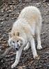 Arktischer Wolf nervös