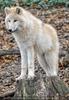 Arktischer Wolf passt auf