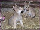 Wolfsbabys im Bau