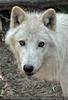 Mit den Polarwolf Welpen 02