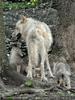 Mit den Polarwolf Welpen 06