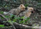 Mit den Polarwolf Welpen 07
