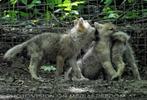 Mit den Polarwolf Welpen 09