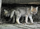 Mit den Polarwolf Welpen 12