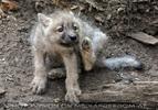 Mit den Polarwolf Welpen 14