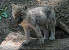 Mit den Polarwolf Welpen 15