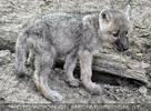 Mit den Polarwolf Welpen 16