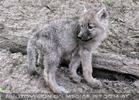 Mit den Polarwolf Welpen 17
