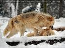 Arktische Wölfe im Schnee 01