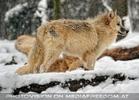 Arktische Wölfe im Schnee 02