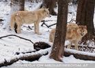 Arktische Wölfe im Schnee 03