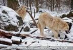 Arktische Wölfe im Schnee 04