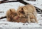 Arktische Wölfe im Schnee 05