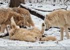 Arktische Wölfe im Schnee 07
