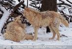 Arktische Wölfe im Schnee 08