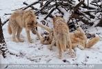 Arktische Wölfe im Schnee 09