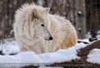 Die Polarwölfe 3