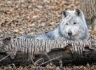 Grauer Polarwolf