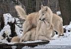 Polar Wölfe 01
