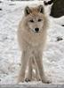 Polar Wölfe 07