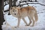 Polar Wölfe 12