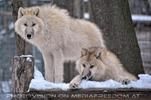 Polar Wölfe 15