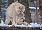 Polar Wölfe 16