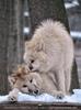 Polar Wölfe 17