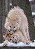 Polar Wölfe 18