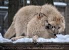 Polar Wölfe 19