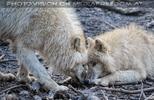 Polarwölfe 15