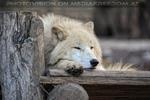 Polarwölfe 17