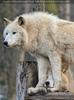 Polarwölfe 19