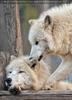 Polarwölfe 21