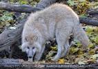 Polarwolf 02