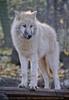 Polarwolf 03